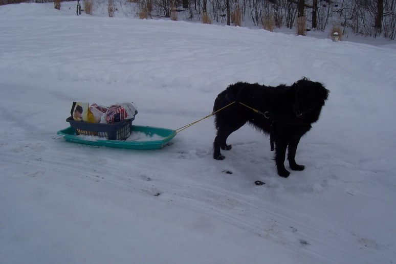 Bailey pulls my kids in the sled in the winter. Here she and I are bringing a few groceries home from town.